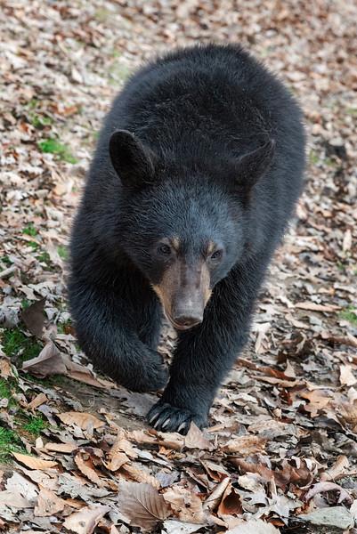 Black bear coming close