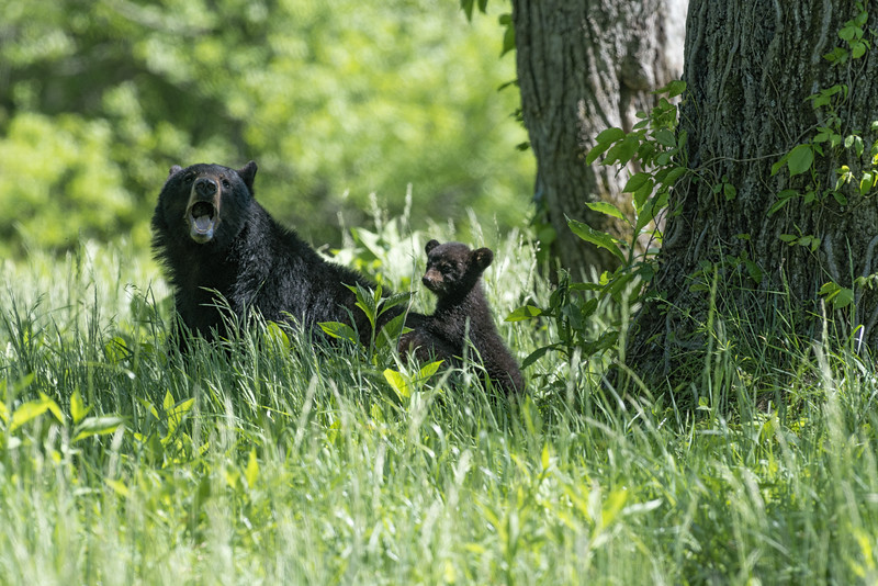 Black bear and her cub.....................Prints or digital files can be purchased by e mailing DFriend150@gmail.com