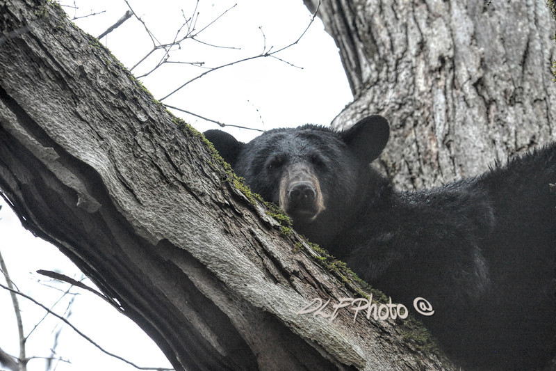 .Black bear resting in tree                                 .                                  Prints or digital files can be purchased by e mailing DFriend150@gmail.com
