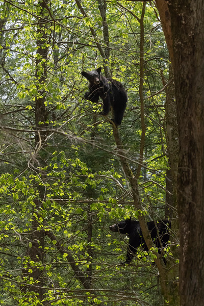 Mother and cub eating in a tree together
