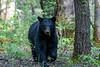Black bear eating leaves walking forward