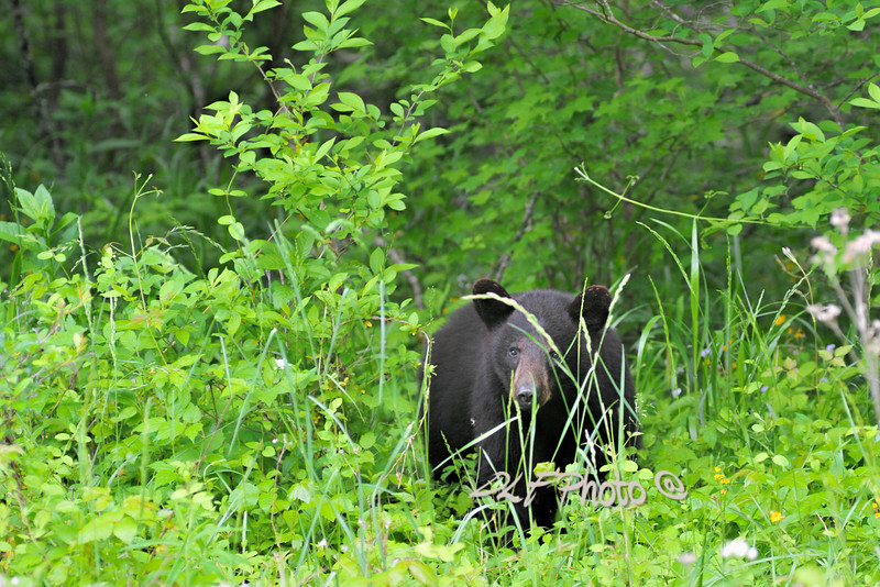 Black bear in grass .                                .                                  Prints or digital files can be purchased by e mailing DFriend150@gmail.com