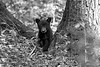 Black bear cub among the trees in the forest  BW