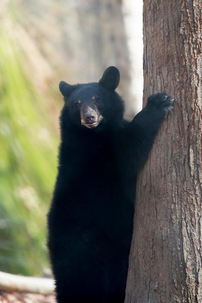 Healthy black bear at base of large tree