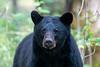 Black bear eyes staring
