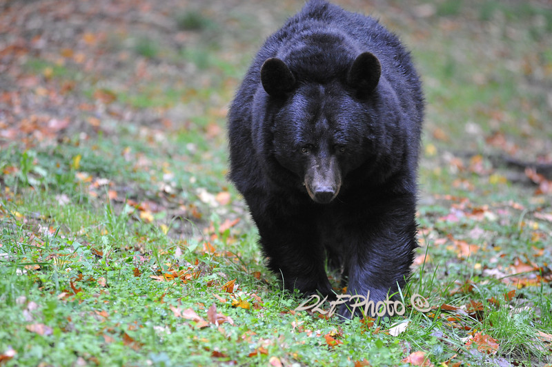 Black bear WV Wildlife at French Creek                                 .                                  Prints or digital files can be purchased by e mailing DFriend150@gmail.com