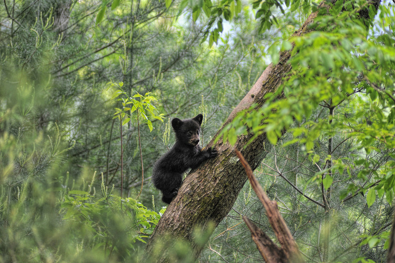 """Bear cub climbing tree pausing to look<br /> <br /> to purchase - <a href=""""http://dan-friend.artistwebsites.com/featured/bear-cub-climbing-tree-pausing-to-look-dan-friend.html"""">http://dan-friend.artistwebsites.com/featured/bear-cub-climbing-tree-pausing-to-look-dan-friend.html</a>           .................................................................pixel paintography"""