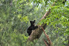 "Bear cub climbing tree pausing to look<br /> <br /> to purchase - <a href=""http://dan-friend.artistwebsites.com/featured/bear-cub-climbing-tree-pausing-to-look-dan-friend.html"">http://dan-friend.artistwebsites.com/featured/bear-cub-climbing-tree-pausing-to-look-dan-friend.html</a>           .................................................................pixel paintography"