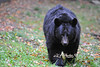 Black bear WV Wildlife at French Creek  ..............................................                          .                                  Prints or digital files can be purchased by e mailing DFriend150@gmail.com