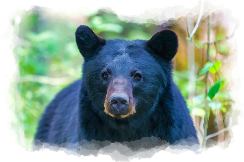 Black bear eyes staring    paintography