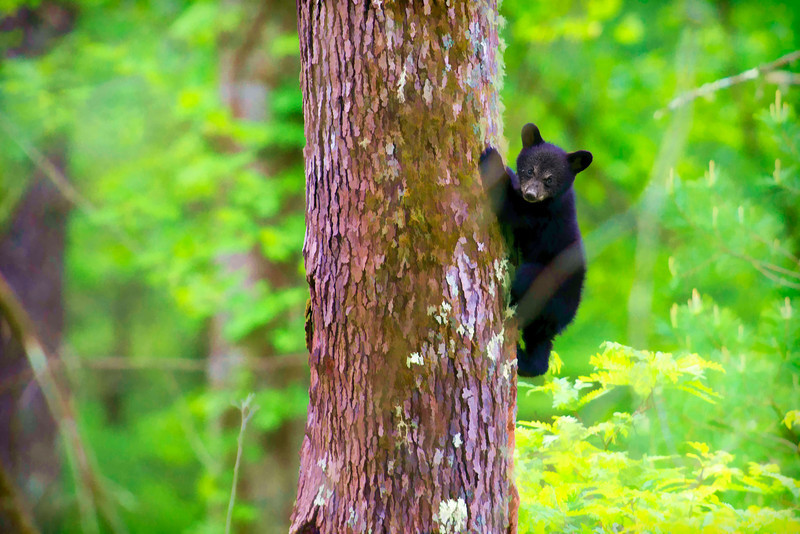 "Black bear cub in tree................to purchase - <a href=""http://dan-friend.artistwebsites.com/featured/black-bear-cub-in-tree-dan-friend.html"">http://dan-friend.artistwebsites.com/featured/black-bear-cub-in-tree-dan-friend.html</a>"