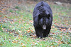 Black bear WV Wildlife at French Creek  '''''''''''''''''''''''''''''''''''''''''''''                      .                                  Prints or digital files can be purchased by e mailing DFriend150@gmail.com