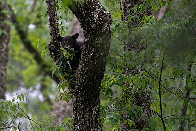 Black bear cub eating leaves intree .......................................Prints or digital files can be purchased by e mailing DFriend150@gmail.com