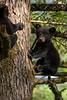 Black bear cub up a tree sitting on a limb