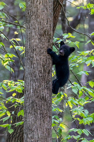 Black bear cub climbing up tree trunk