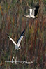 """Wood storks breed in the southeastern United States and are the only stork to breed in the U.S. <br /> <br /> Order framed, metal, acrylic print, canvas, fine art print, photo print at this website - <br />  <a href=""""http://fineartamerica.com/featured/wood-storks-dan-friend.html"""">http://fineartamerica.com/featured/wood-storks-dan-friend.html</a>           .................................................................pixel paintography"""