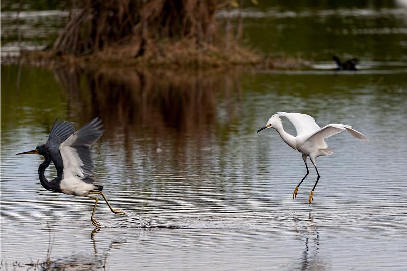 Snowy egret chasing other bird away
