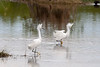 Two egrets in the lagoon