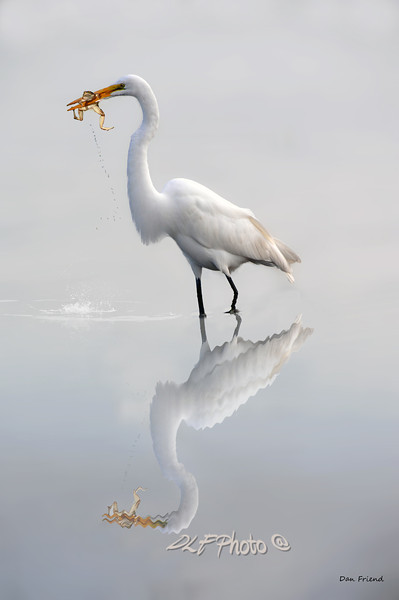 "Great egret with lunch<br /> <br /> to purchase - <a href=""http://dan-friend.artistwebsites.com/featured/great-egret-with-lunch-dan-friend.html"">http://dan-friend.artistwebsites.com/featured/great-egret-with-lunch-dan-friend.html</a>           .................................................................pixel paintography"