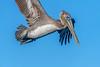 Brown pelican feeding in the marsh