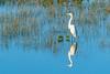 White egrets feeding and flying in the marsh