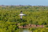 Tern flying high above the marsh