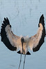 Close up of Wood Stork landing in water