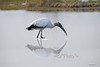 """Wood stork eating<br /> <br /> to purchase - <a href=""""http://dan-friend.artistwebsites.com/featured/wood-stork-eating-dan-friend.html"""">http://dan-friend.artistwebsites.com/featured/wood-stork-eating-dan-friend.html</a>           .................................................................pixel paintography"""
