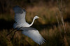 Great egret taking off in the marsh