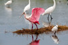 Roseate spoonbill eating in a lagoon