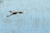 Blue heron wading and flying