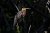 Tricolored Herons are slate grey with a white stripe running down the neck and white underside