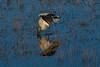 Wood stork feeding in the marsh