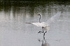 Great Egret dancing on the water