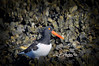 """The American Oystercatcher, occasionally called the American Pied Oystercatcher, The bird is marked by its black and white body and a long, thick orange beak. This shorebird is approximately 19 inches (42 – 52 cm) in length. Oystercatchers are closely tied to coastal habitats. They nest on beaches on coastal islands and feed on marine invertebrates. The large, heavy beak is used to pry open bivalve molluscs. <br /> <br /> to purchase - <a href=""""http://dan-friend.artistwebsites.com/featured/oyster-eater-dan-friend.html"""">http://dan-friend.artistwebsites.com/featured/oyster-eater-dan-friend.html</a>           .................................................................pixel paintography"""