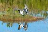 Wood storks nad great blue heron