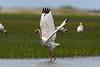 White Ibis taking off