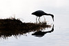 silhouette of small blue heron looking in the water