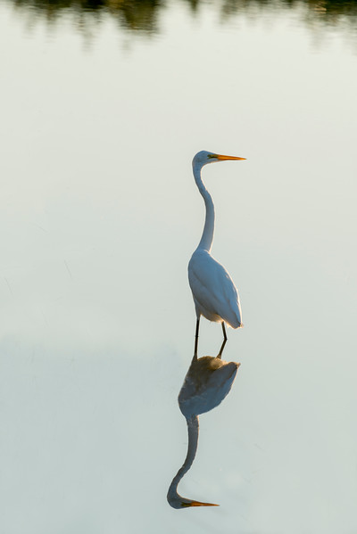 Great white egrets wading in water