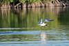 Gull catching fish in water