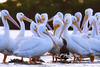 White Pelican second largest bird North America