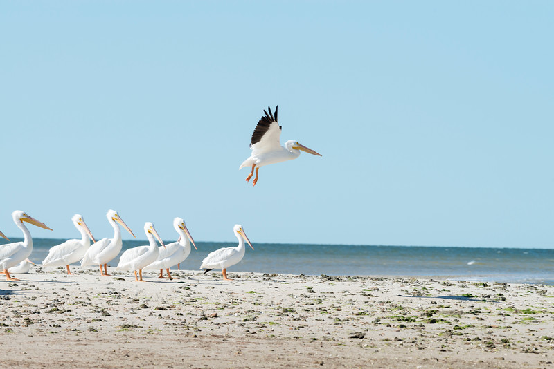 One of the largest North American birds, the American White Pelican is majestic in the air.