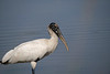 Wood stork along waters edge