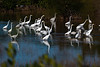 Egrets in the marsh flying and feeding