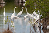 Great egrets and other egrets feeding