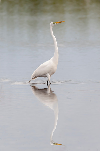 Great egret looking for fish to eat