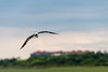 Bonaparte's Gull flying