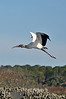 "Wood storks breed in the southeastern United States and are the only stork to breed in the U.S.<br /> <br /> <br /> to purchase - <a href=""http://bit.ly/XnDMEO"">http://bit.ly/XnDMEO</a> Prints or digital files can be purchased by e mailing DFriend150@gmail.com"