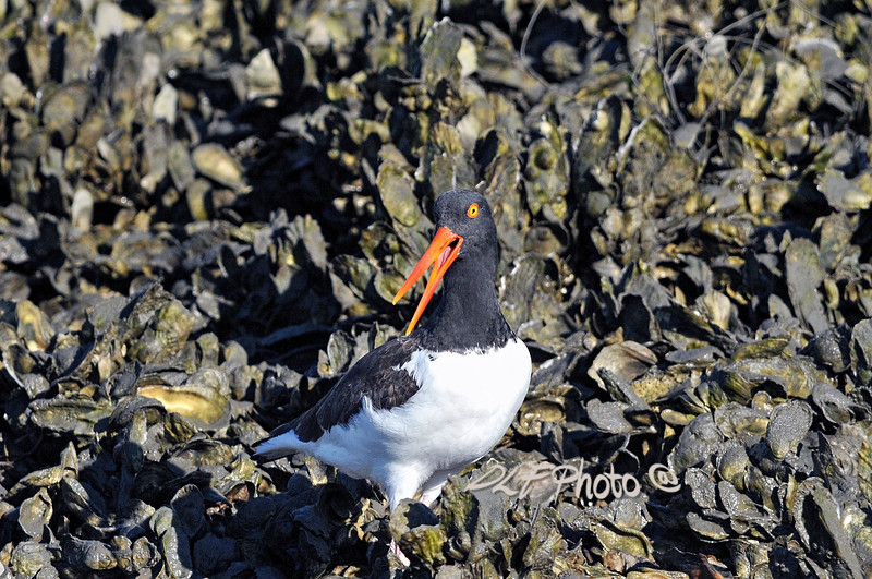 """The American Oystercatcher, occasionally called the American Pied Oystercatcher, The bird is marked by its black and white body and a long, thick orange beak. This shorebird is approximately 19 inches (42 – 52 cm) in length. Oystercatchers are closely tied to coastal habitats. They nest on beaches on coastal islands and feed on marine invertebrates. The large, heavy beak is used to pry open bivalve molluscs.<br /> to purchase - <a href=""""http://bit.ly/XnCCcC"""">http://bit.ly/XnCCcC</a> <br /> <br /> To purchase - e mail DFriend150@gmail.com Prints or digital files can be purchased by e mailing DFriend150@gmail.com"""