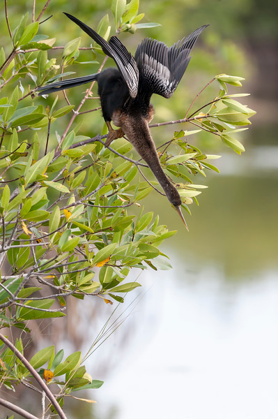 Anhinga getting ready to dive
